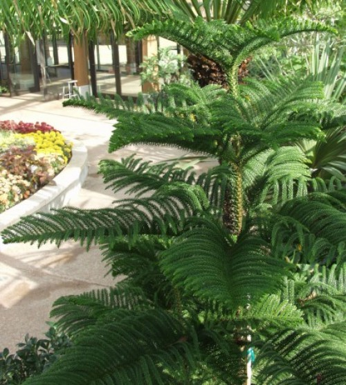 This is my Norfolk Island Pine this summer, out on my patio.  It's a beauty, isn't it?