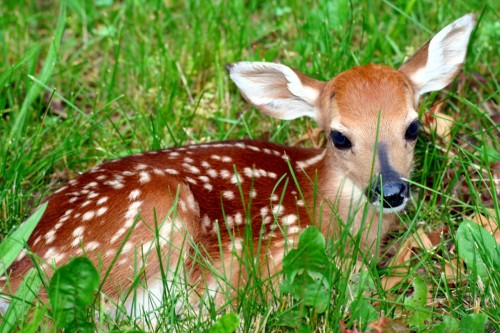 Vixen Divorcee as a fawn